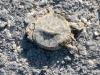 Comal River Turtle Roadkill Landa Park New Braunfels TX