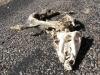 Javelina Roadkill Big Bend Ranch Texas State Park
