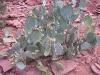 Arizona cactus plant