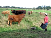 Rene tends to the cows