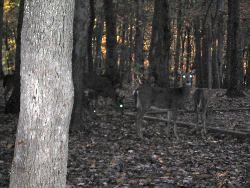 Claytor Lake Deer at Dusk