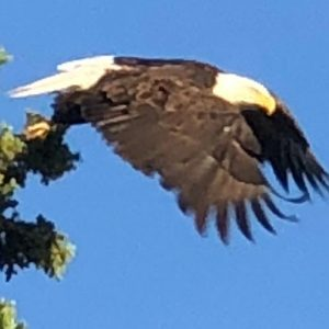 Yukon-River-Bridge-Bald-Eagle