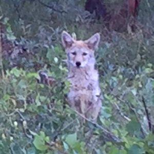 Crystal-Lakes-Coyote-Pups